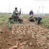 12马力手扶配套毛芋头收获机 地瓜芋头专用收获机厂家